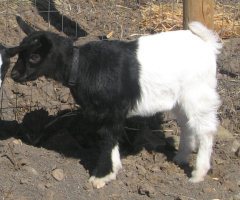 BamBam the fainting goat
