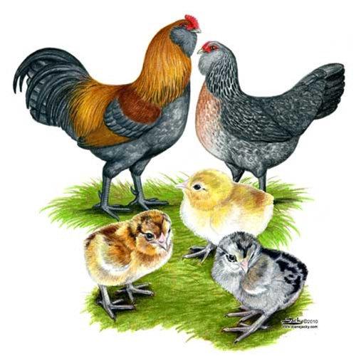 CritterYard.com - Our chickens - Ameraucana